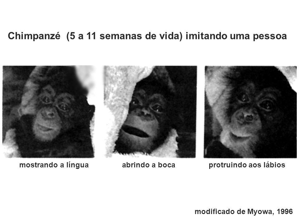 abrindo a bocamostrando a línguaprotruindo aos lábios Chimpanzé (5 a 11 semanas de vida) imitando uma pessoa modificado de Myowa, 1996
