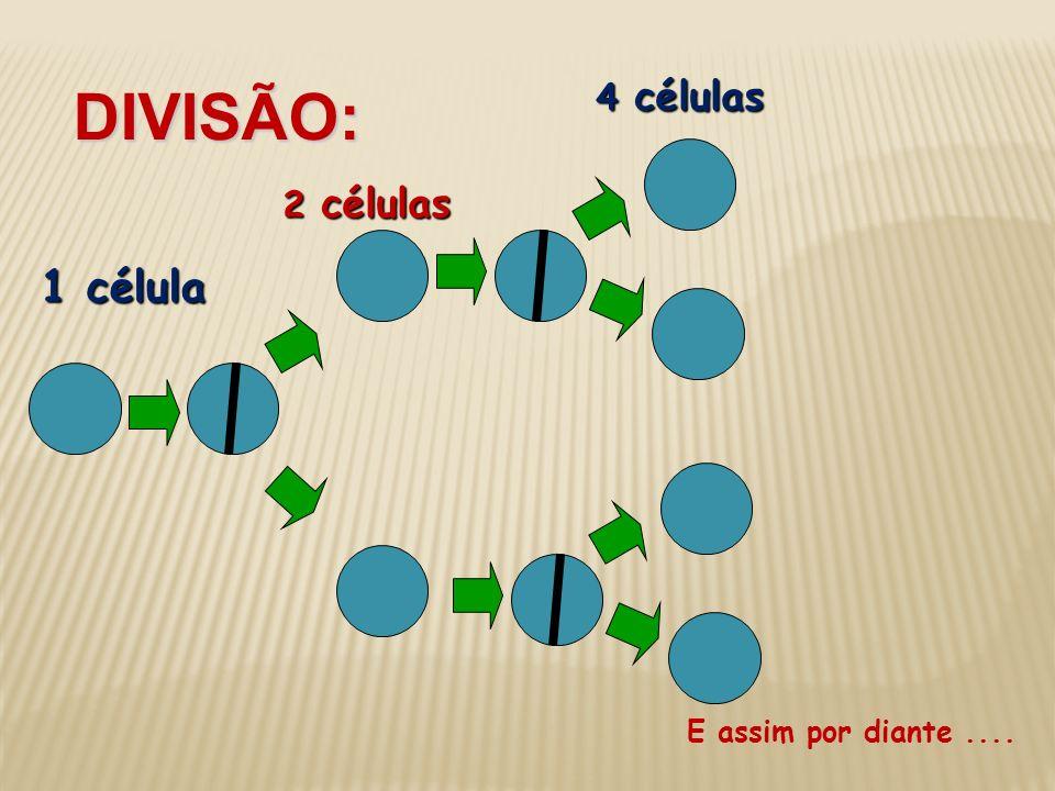 1 célula 2 células DIVISÃO: 4 células E assim por diante....