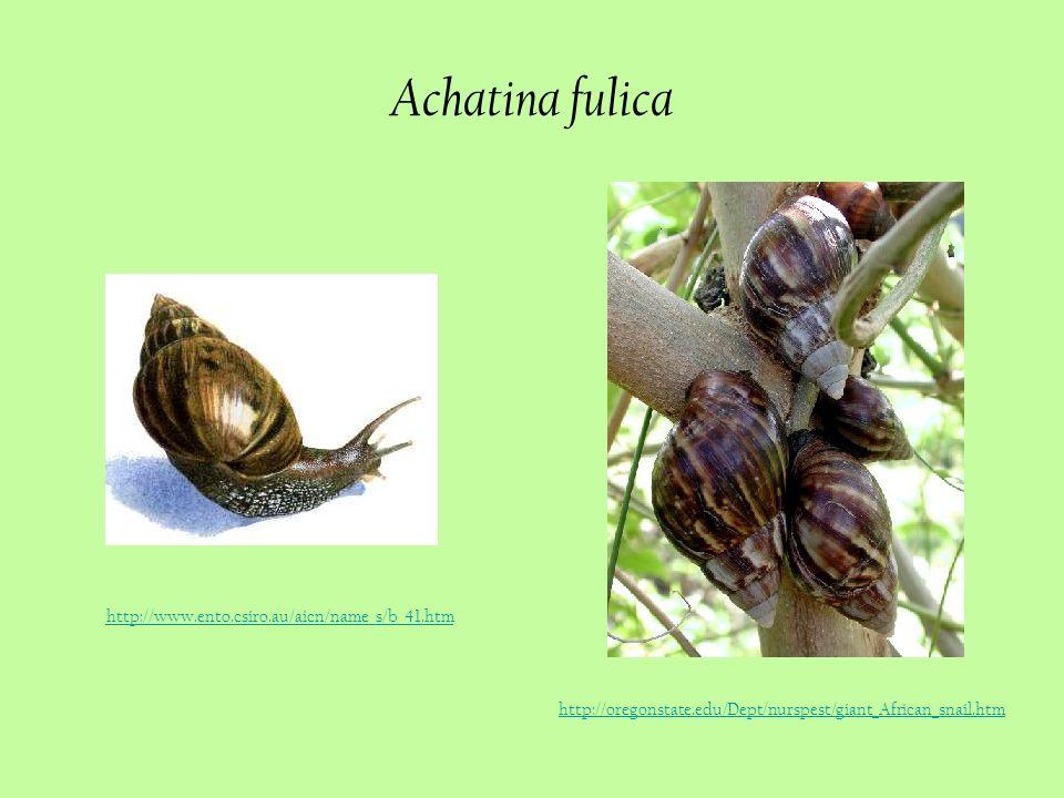 Achatina fulica http://www.ento.csiro.au/aicn/name_s/b_41.htm http://oregonstate.edu/Dept/nurspest/giant_African_snail.htm
