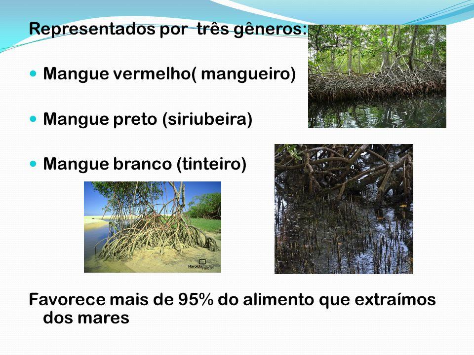 Representados por três gêneros: Mangue vermelho( mangueiro) Mangue preto (siriubeira) Mangue branco (tinteiro) Favorece mais de 95% do alimento que ex