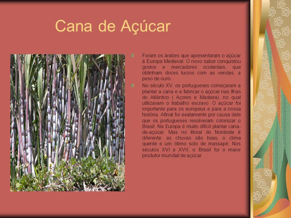Cana de Açúcar Foram os árabes que apresentaram o açúcar à Europa Medieval. O novo sabor conquistou gostos e mercadores ocidentais, que obtinham doces