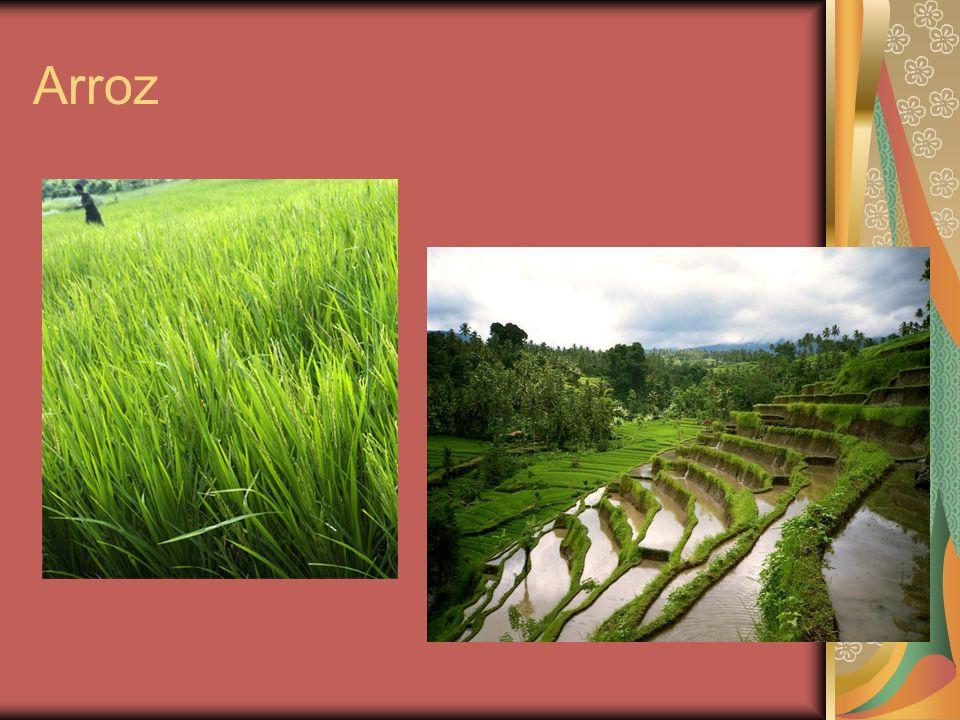O arroz, cujo nome científico é Oryza Sativa, é o segundo alimento mais consumido no mundo e seu cultivo é tão antigo quanto à própria civilização, diversos autores acreditam que ele seja originário da Ásia e as primeiras culturas iniciadas há sete mil anos.