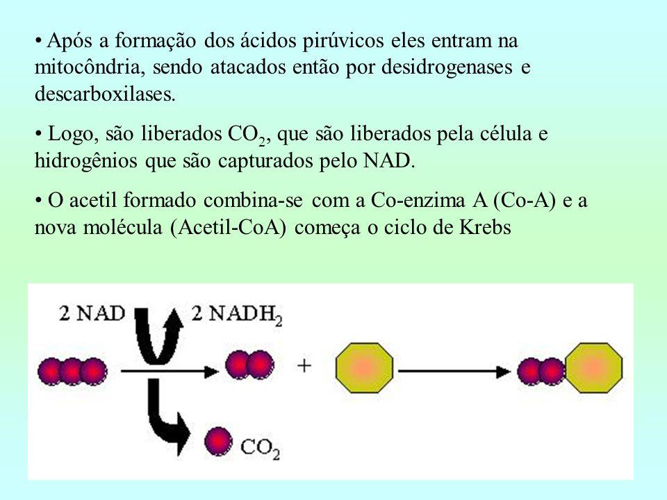 Após a formação dos ácidos pirúvicos eles entram na mitocôndria, sendo atacados então por desidrogenases e descarboxilases. Logo, são liberados CO 2,