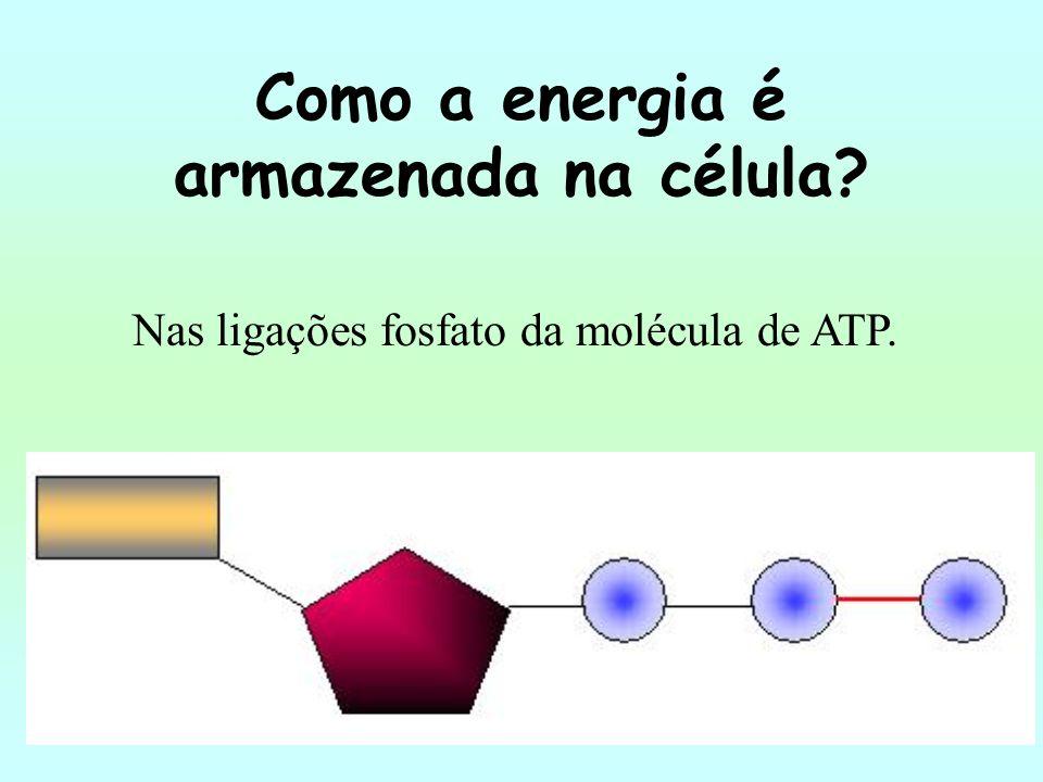 Como a energia é armazenada na célula? Nas ligações fosfato da molécula de ATP.