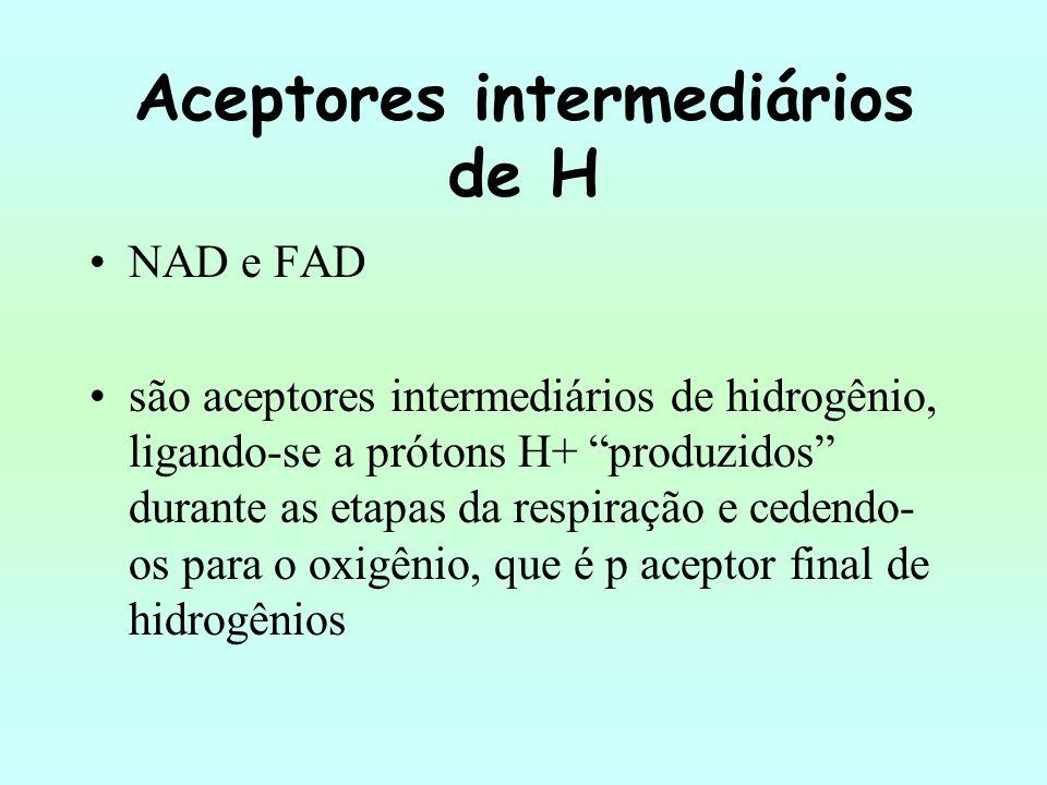 Aceptores intermediários de H NAD e FAD são aceptores intermediários de hidrogênio, ligando-se a prótons H+ produzidos durante as etapas da respiração