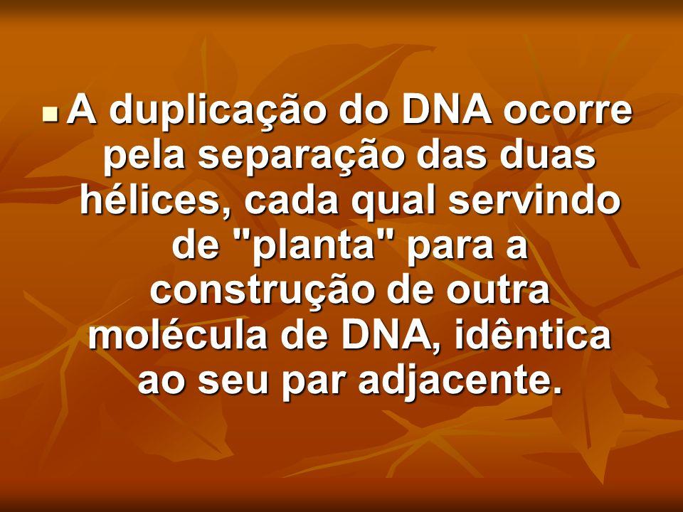 A duplicação do DNA ocorre pela separação das duas hélices, cada qual servindo de