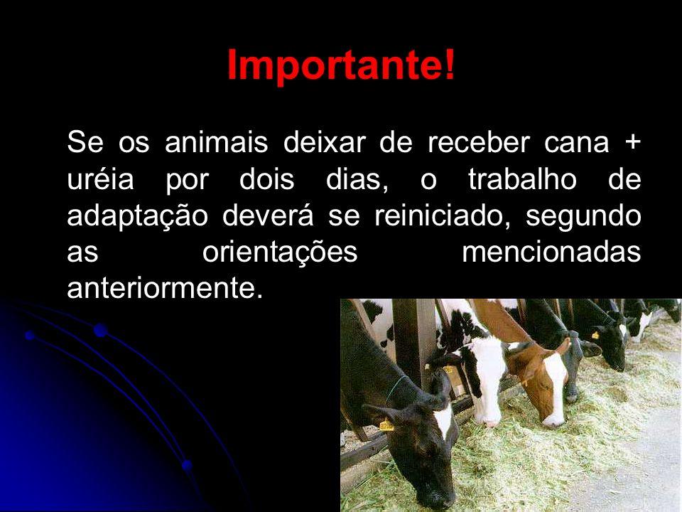 Importante! Se os animais deixar de receber cana + uréia por dois dias, o trabalho de adaptação deverá se reiniciado, segundo as orientações mencionad