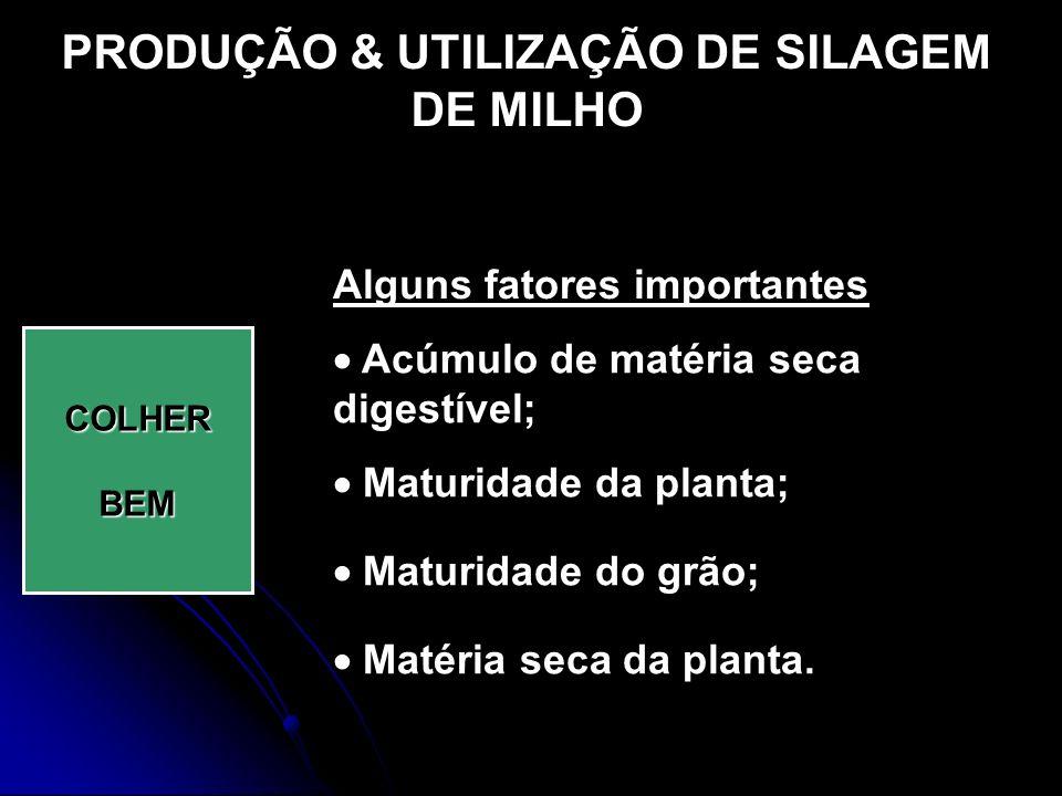 PRODUÇÃO & UTILIZAÇÃO DE SILAGEM DE MILHO COLHERBEM Alguns fatores importantes Acúmulo de matéria seca digestível; Maturidade da planta; Maturidade do