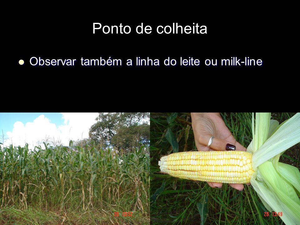 Ponto de colheita Observar também a linha do leite ou milk-line Observar também a linha do leite ou milk-line