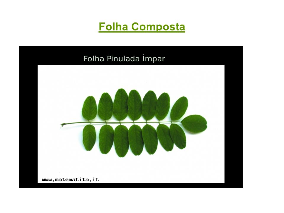 Folhas Modificadas(Plantas Carnívoras ou Insetívoras) Mecanismo de defesa.
