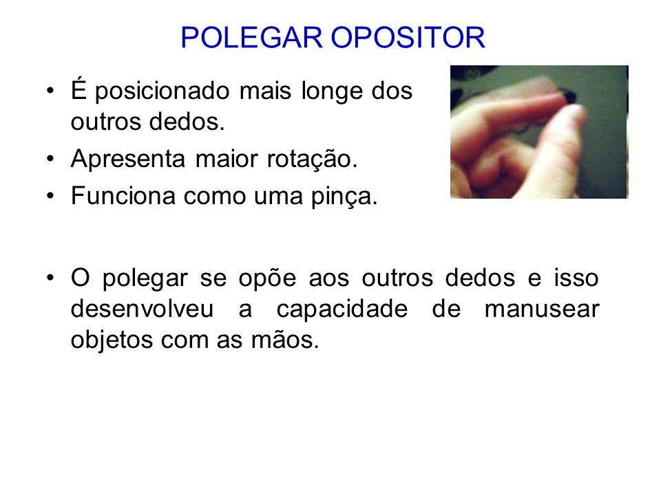 POLEGAR OPOSITOR É posicionado mais longe dos outros dedos. Apresenta maior rotação. Funciona como uma pinça. O polegar se opõe aos outros dedos e iss