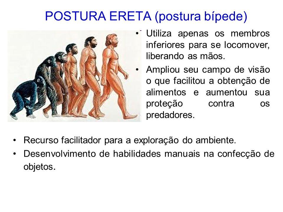 POSTURA ERETA (postura bípede) Recurso facilitador para a exploração do ambiente. Desenvolvimento de habilidades manuais na confecção de objetos. Util