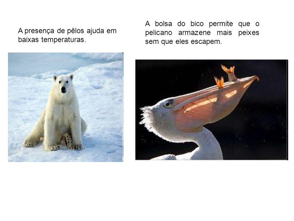 A presença de pêlos ajuda em baixas temperaturas. A bolsa do bico permite que o pelicano armazene mais peixes sem que eles escapem.