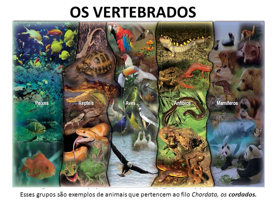 OS VERTEBRADOS Esses grupos são exemplos de animais que pertencem ao filo Chordata, os cordados.