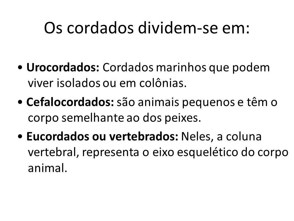 Os cordados dividem-se em: Urocordados: Cordados marinhos que podem viver isolados ou em colônias. Cefalocordados: são animais pequenos e têm o corpo