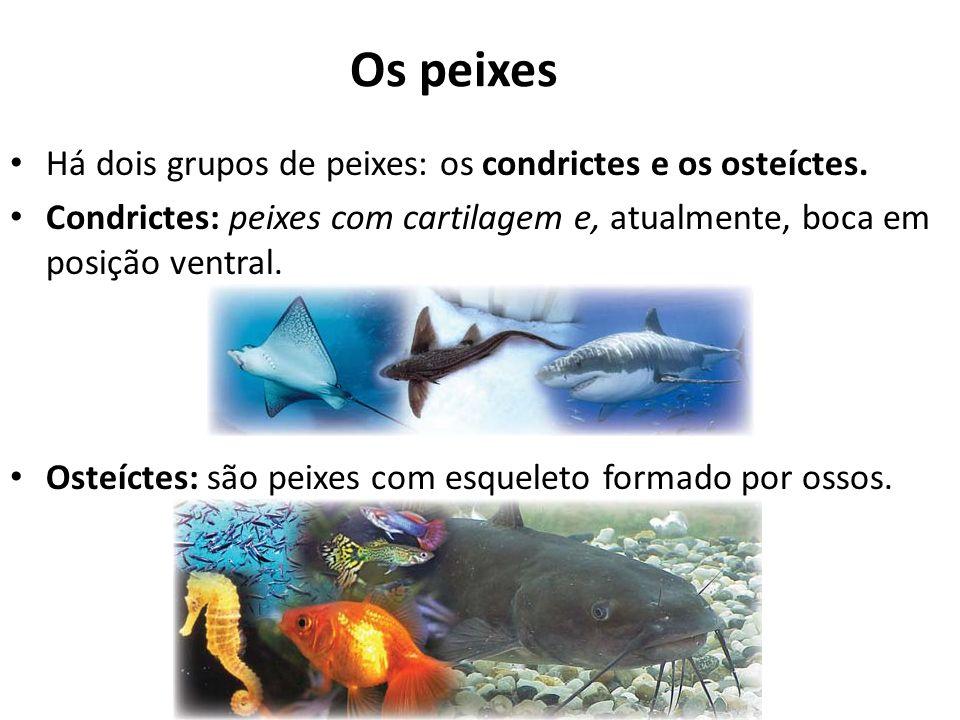 Os peixes Há dois grupos de peixes: os condrictes e os osteíctes. Condrictes: peixes com cartilagem e, atualmente, boca em posição ventral. Osteíctes:
