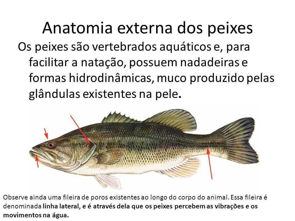 Anatomia externa dos peixes Os peixes são vertebrados aquáticos e, para facilitar a natação, possuem nadadeiras e formas hidrodinâmicas, muco produzid