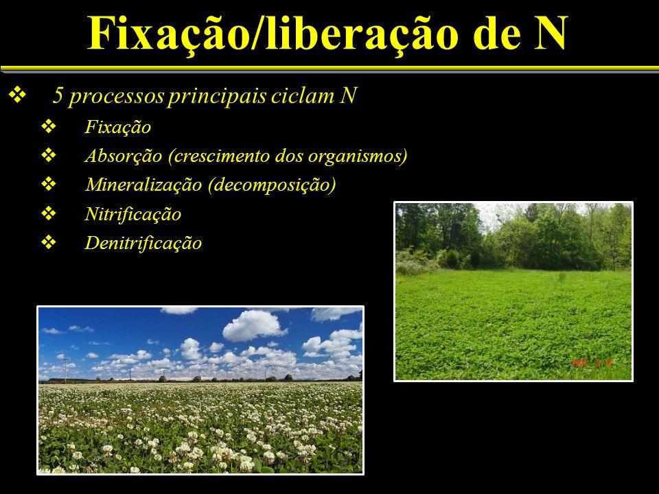 Fixação/liberação de N 5 processos principais ciclam N Fixação Absorção (crescimento dos organismos) Mineralização (decomposição) Nitrificação Denitri