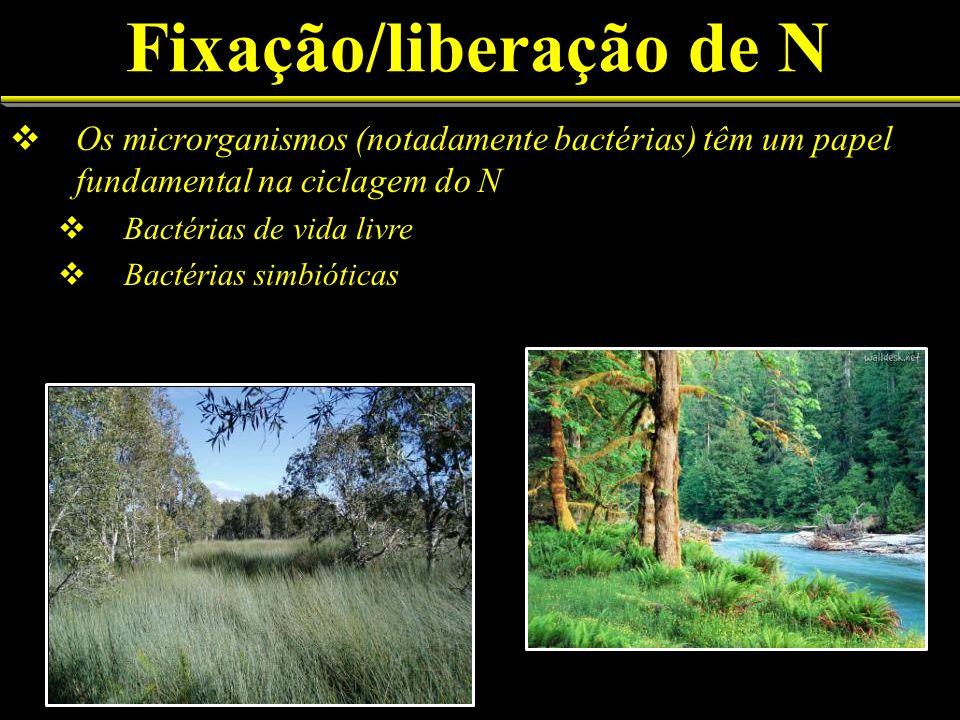 Fixação/liberação de N Os microrganismos (notadamente bactérias) têm um papel fundamental na ciclagem do N Bactérias de vida livre Bactérias simbiótic