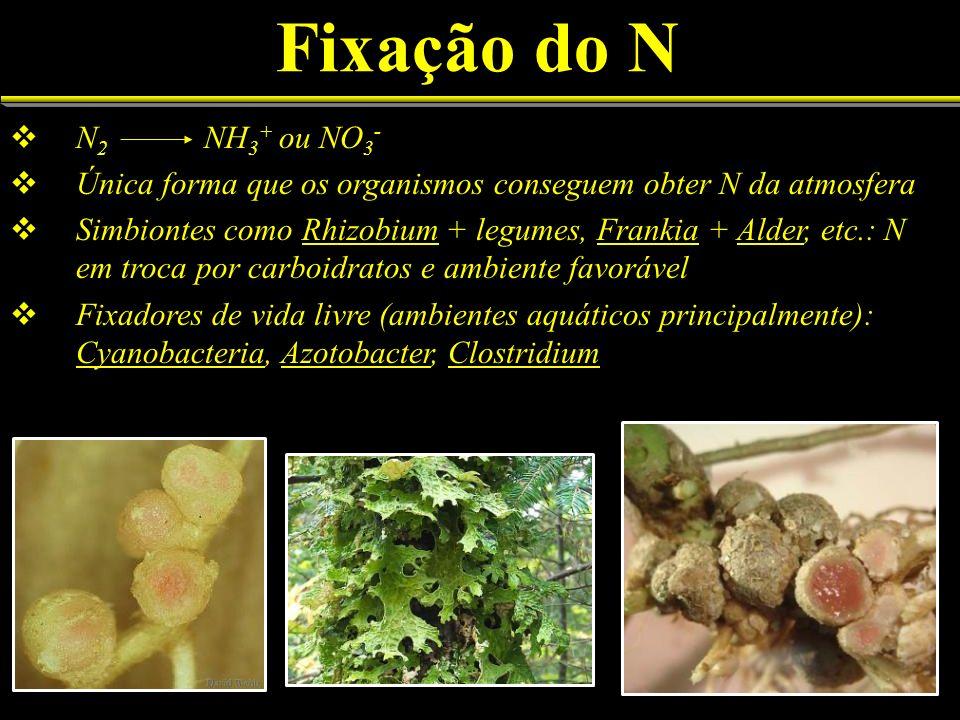 Fixação do N N 2 NH 3 + ou NO 3 - Única forma que os organismos conseguem obter N da atmosfera Simbiontes como Rhizobium + legumes, Frankia + Alder, e