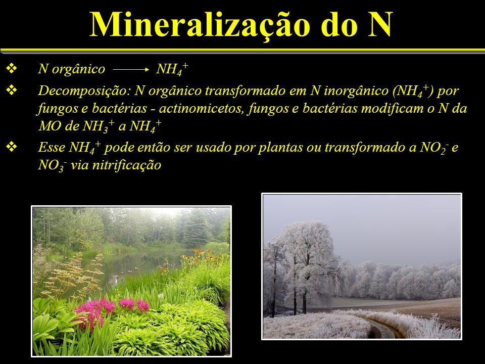 Mineralização do N N orgânico NH 4 + Decomposição: N orgânico transformado em N inorgânico (NH 4 + ) por fungos e bactérias - actinomicetos, fungos e
