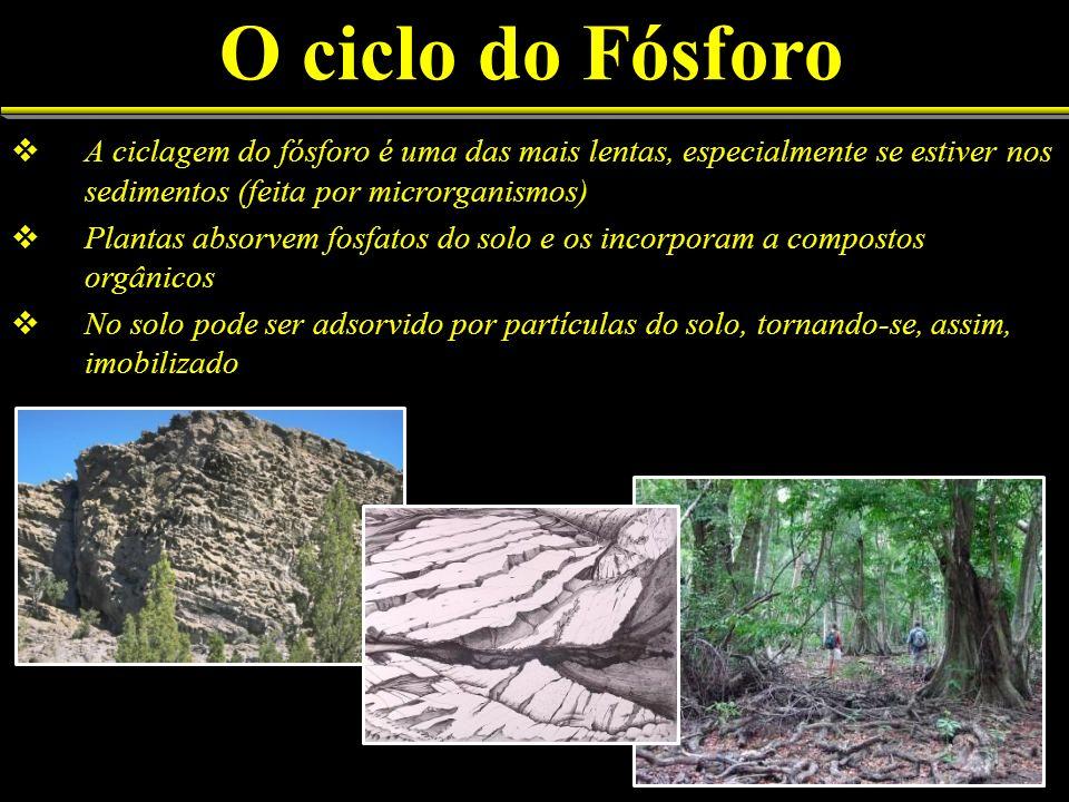 O ciclo do Fósforo A ciclagem do fósforo é uma das mais lentas, especialmente se estiver nos sedimentos (feita por microrganismos) Plantas absorvem fo