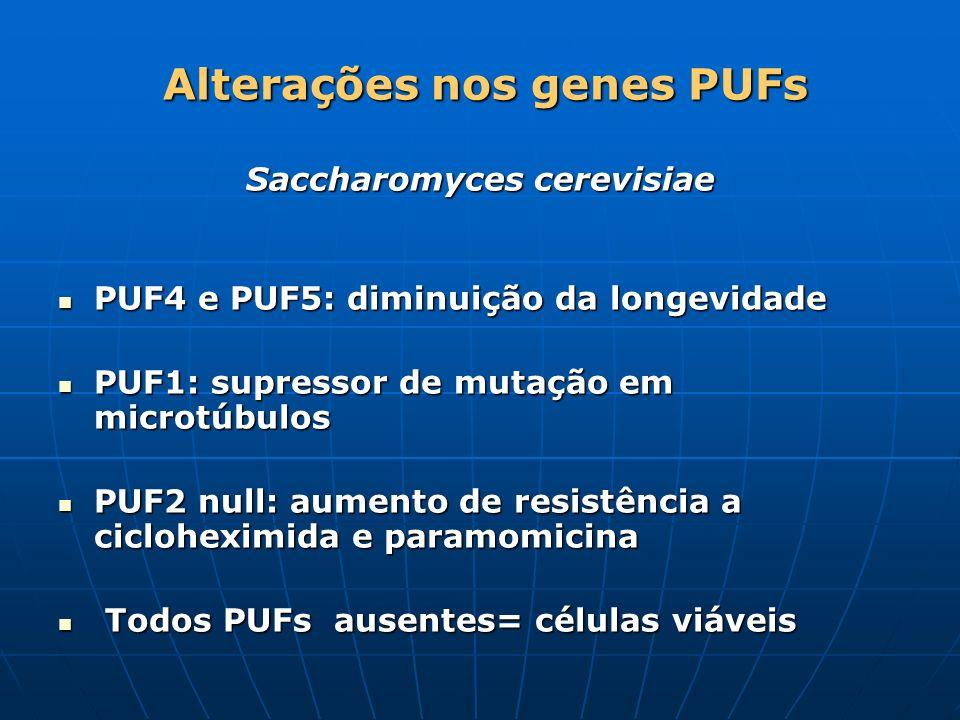 Alterações nos genes PUFs Alterações nos genes PUFs Saccharomyces cerevisiae PUF4 e PUF5: diminuição da longevidade PUF4 e PUF5: diminuição da longevi