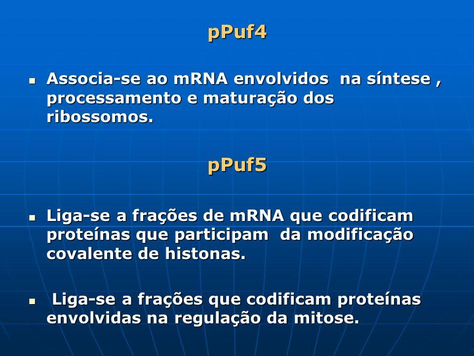 pPuf4 Associa-se ao mRNA envolvidos na síntese, processamento e maturação dos ribossomos. Associa-se ao mRNA envolvidos na síntese, processamento e ma
