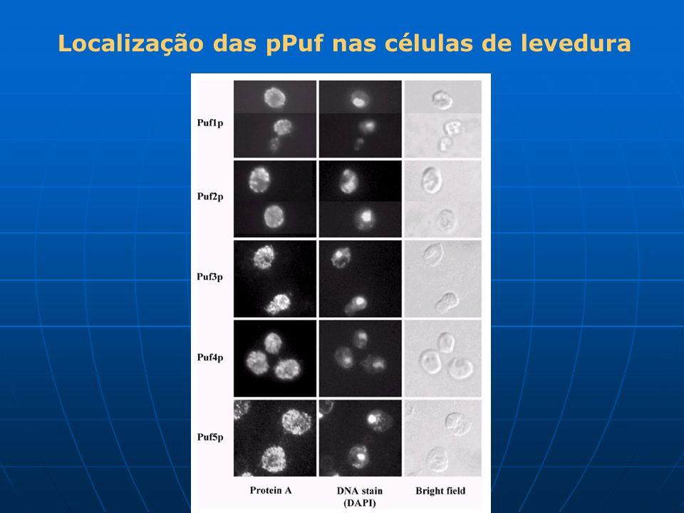 Localização das pPuf nas células de levedura