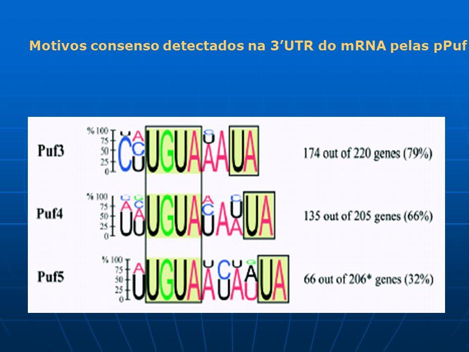 Motivos consenso detectados na 3UTR do mRNA pelas pPuf