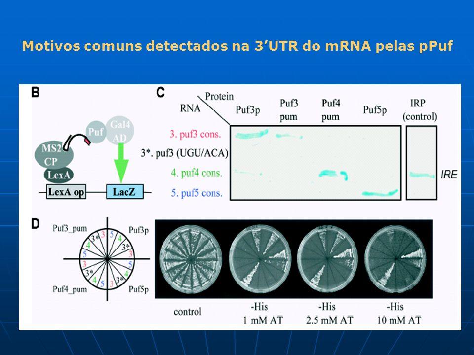 Motivos comuns detectados na 3UTR do mRNA pelas pPuf