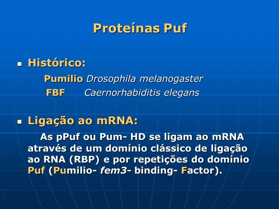 Proteínas Puf Histórico: Histórico: Pumilio Drosophila melanogaster Pumilio Drosophila melanogaster FBF Caernorhabiditis elegans FBF Caernorhabiditis