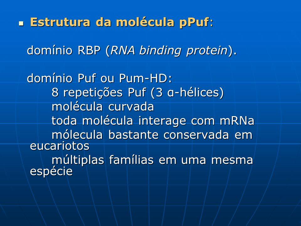 Estrutura da molécula pPuf: Estrutura da molécula pPuf: domínio RBP (RNA binding protein). domínio RBP (RNA binding protein). domínio Puf ou Pum-HD: d