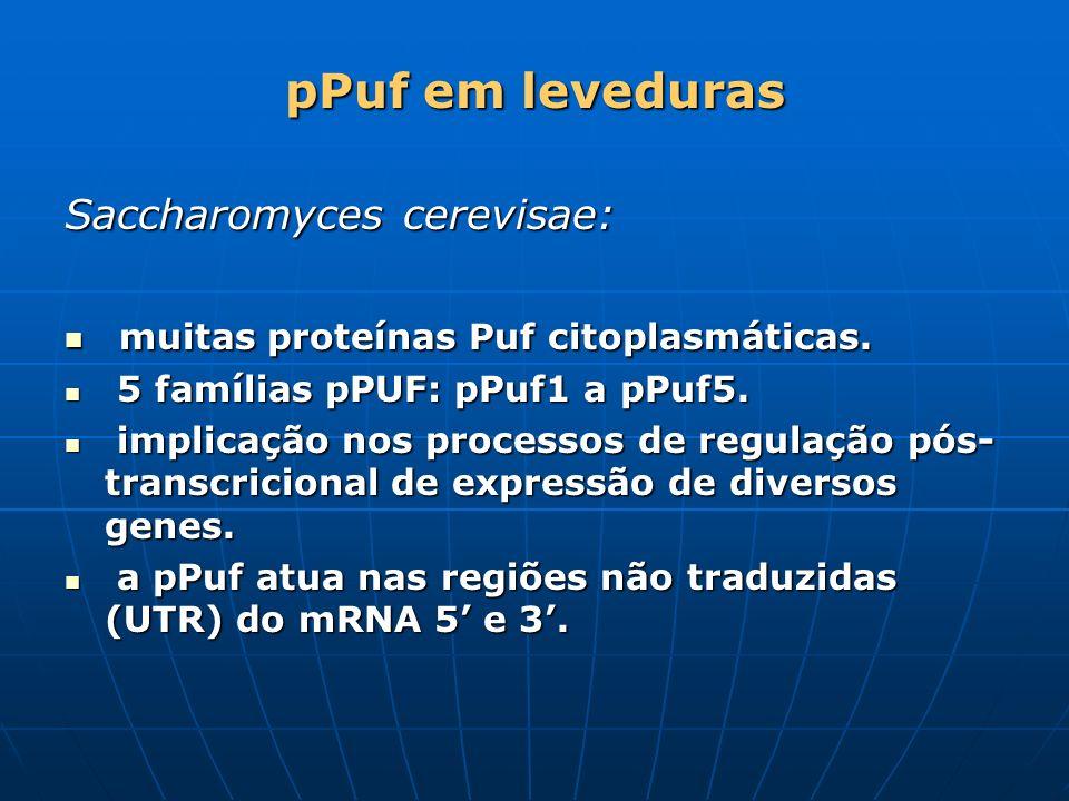 pPuf em leveduras Saccharomyces cerevisae: muitas proteínas Puf citoplasmáticas. muitas proteínas Puf citoplasmáticas. 5 famílias pPUF: pPuf1 a pPuf5.