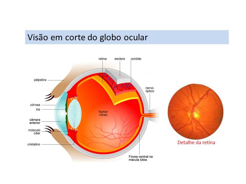 Mecanismo da visão A imagem, no olho emétrope (normal), forma-se sobre retina e de forma invertida.