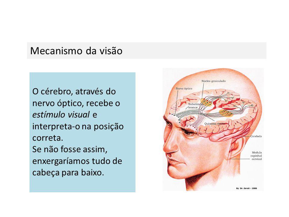Mecanismo da visão O cérebro, através do nervo óptico, recebe o estímulo visual e interpreta-o na posição correta. Se não fosse assim, enxergaríamos t