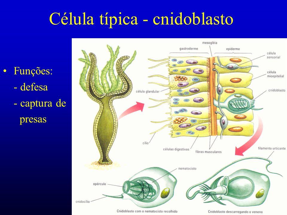 Célula típica - cnidoblasto Funções: - defesa - captura de presas