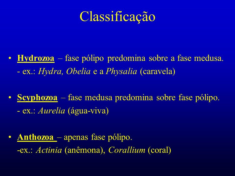 Classificação Hydrozoa – fase pólipo predomina sobre a fase medusa. - ex.: Hydra, Obelia e a Physalia (caravela) Scyphozoa – fase medusa predomina sob