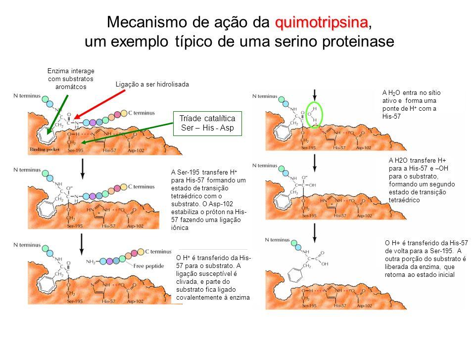 quimotripsina Mecanismo de ação da quimotripsina, um exemplo típico de uma serino proteinase O H + é transferido da His- 57 para o substrato. A ligaçã