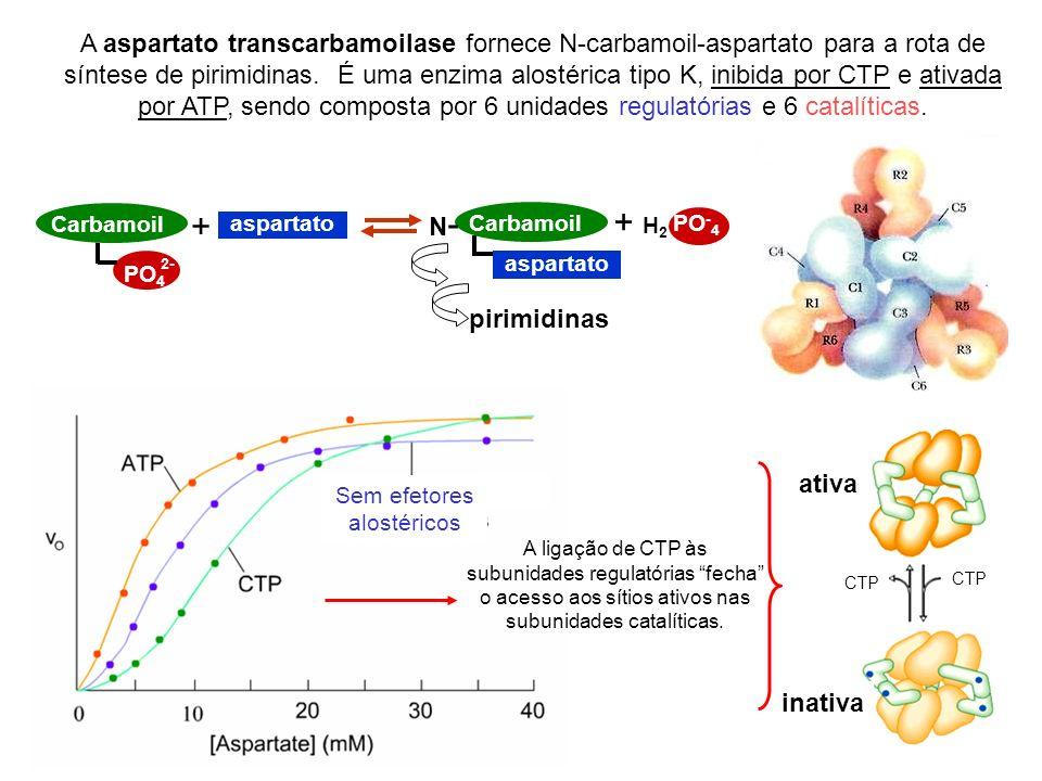 A aspartato transcarbamoilase fornece N-carbamoil-aspartato para a rota de síntese de pirimidinas. É uma enzima alostérica tipo K, inibida por CTP e a