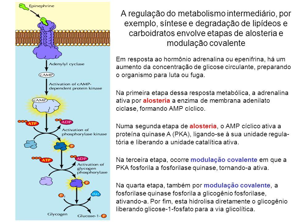 Em resposta ao hormônio adrenalina ou epenifrina, há um aumento da concentração de glicose circulante, preparando o organismo para luta ou fuga. Na pr