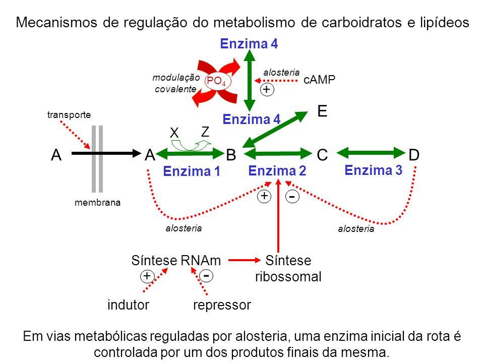 transporte A A B C D Enzima 2 Enzima 1 Enzima 3 + - alosteria membrana X Z Enzima 4 E + cAMP alosteria PO 4 modulação covalente Síntese ribossomal Sín