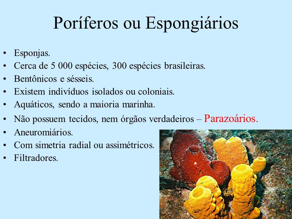Poríferos ou Espongiários Esponjas. Cerca de 5 000 espécies, 300 espécies brasileiras. Bentônicos e sésseis. Existem indivíduos isolados ou coloniais.