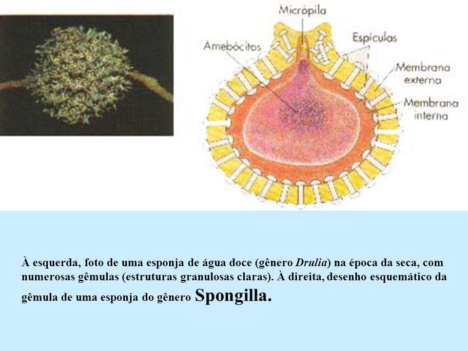 À esquerda, foto de uma esponja de água doce (gênero Drulia) na época da seca, com numerosas gêmulas (estruturas granulosas claras). À direita, desenh