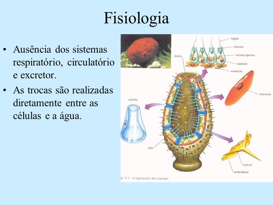 Fisiologia Ausência dos sistemas respiratório, circulatório e excretor. As trocas são realizadas diretamente entre as células e a água.