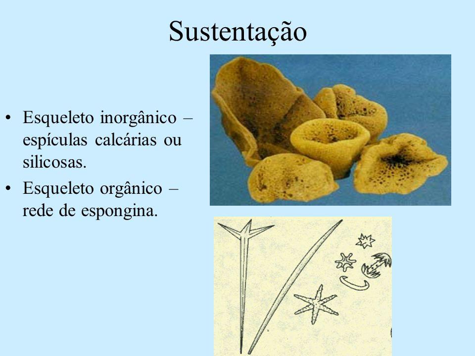 Sustentação Esqueleto inorgânico – espículas calcárias ou silicosas. Esqueleto orgânico – rede de espongina.