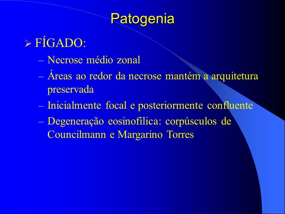 Patogenia FÍGADO: – Necrose médio zonal – Áreas ao redor da necrose mantém a arquitetura preservada – Inicialmente focal e posteriormente confluente –