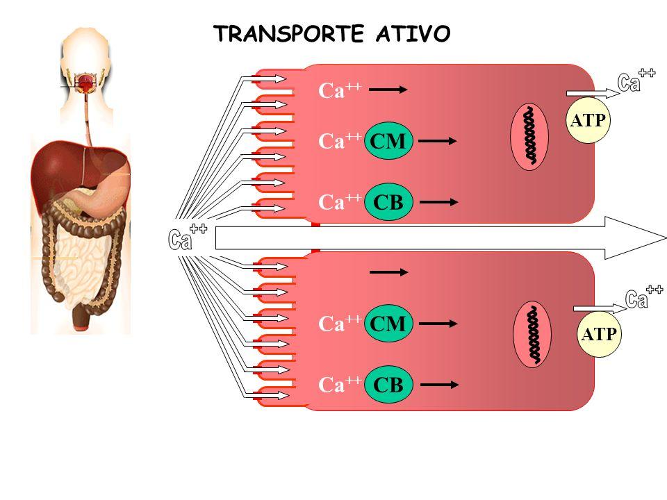 Ca CM CB Ca ++ CM CB Ca ++ ATP TRANSPORTE ATIVO