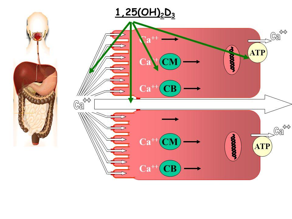 Ca CM CB Ca ++ CM CB Ca ++ ATP 1,25(OH) 2 D 3