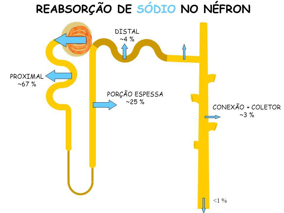CONEXÃO + COLETOR ~3 % REABSORÇÃO DE SÓDIO NO NÉFRON PROXIMAL ~67 % PORÇÃO ESPESSA ~25 % DISTAL ~4 % <1 %